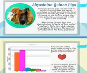 abyssinian guinea pig info at a glance infographic