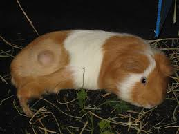 A Guinea Pig With A Tumor