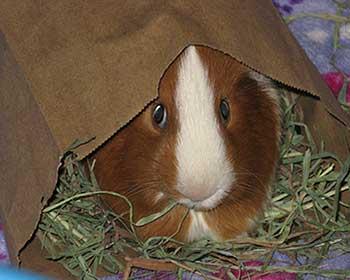 guinea pig toy paper bag