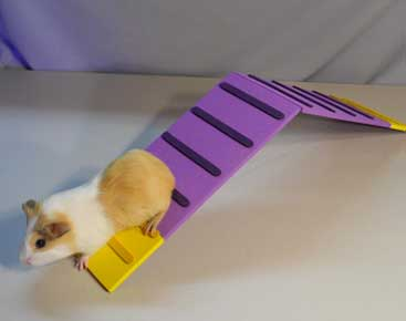 guinea pig obstacle course