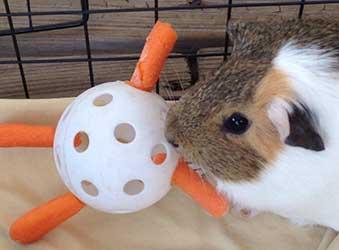 veggie wiffle ball guinea pig toy
