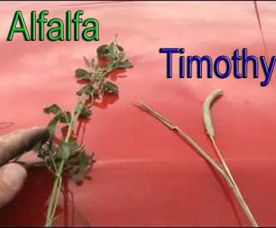 alfalfa-versus-timothy-hay