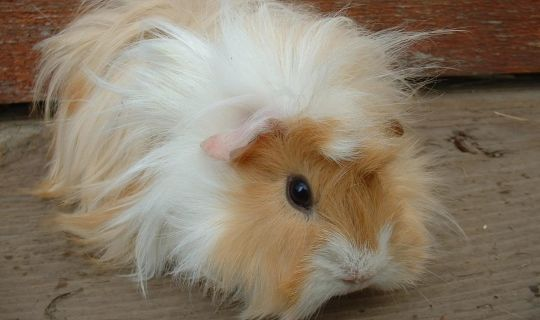 beautiful orange and white abyssinian guinea pig