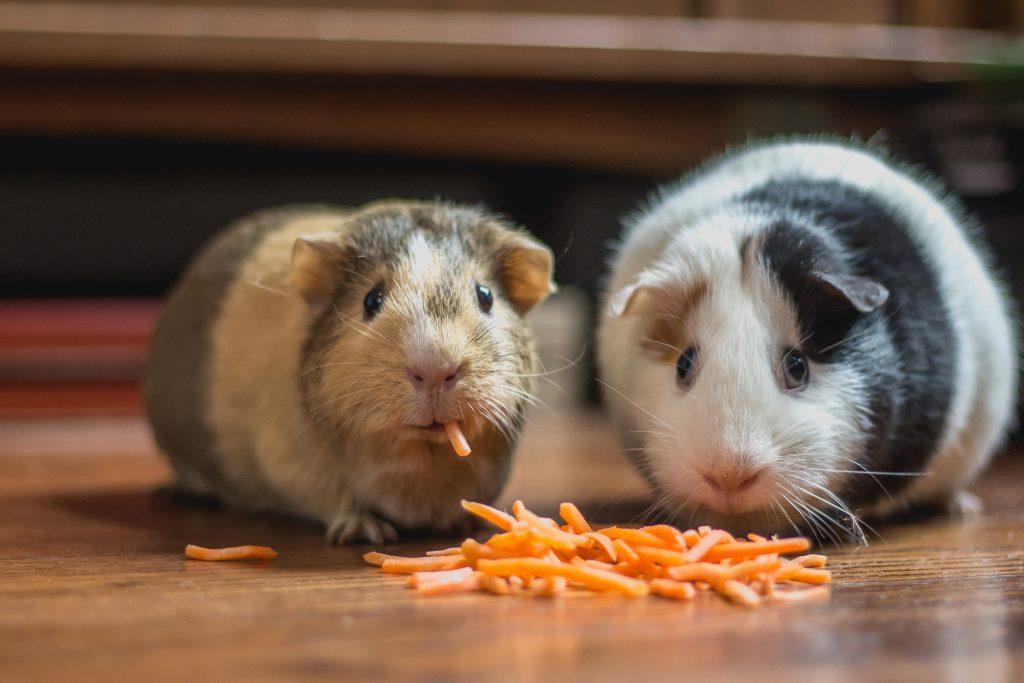 Why Do Guinea Pigs Squeak