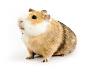 Guinea Pig Odor
