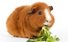 Feeding your guinea pig a probiotic