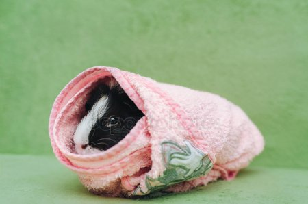Wrapping A Guinea Pig In A Cold Towel