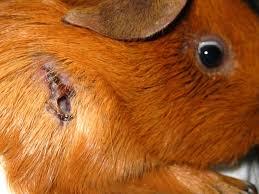 Guinea Pig Cyst