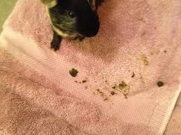 A Picture of guinea an ill guinea pig with Diarrhoea